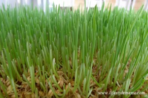 Hydroponic Wheatgrass at Day Four