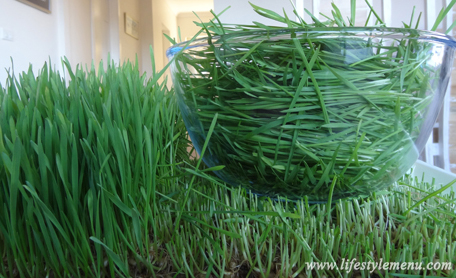 harvesting-wheatgrass with no soil