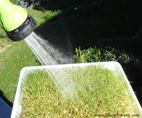 watering-wheatgrass being grown - close up