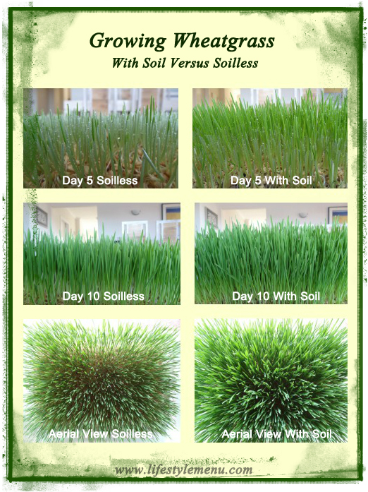 growing-wheatgrass-with-soil-different growth stages v3.2